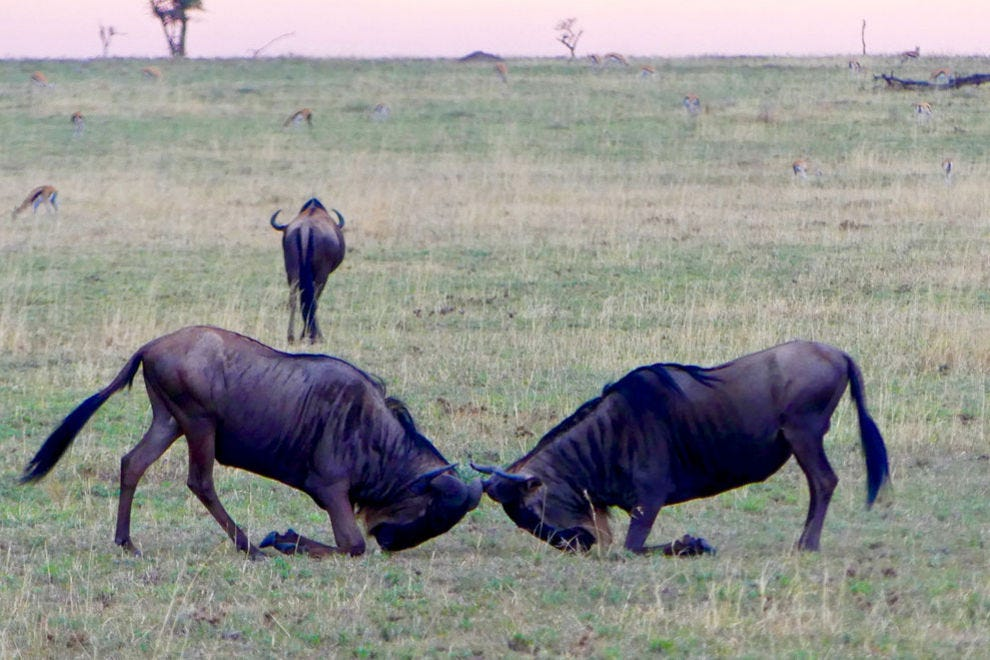 Wildebeest are the most famous migratory animals in the Serengeti-Mara Ecosystem