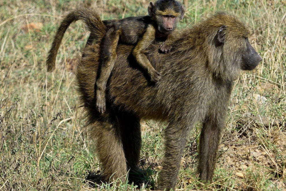 Baby baboon backpack