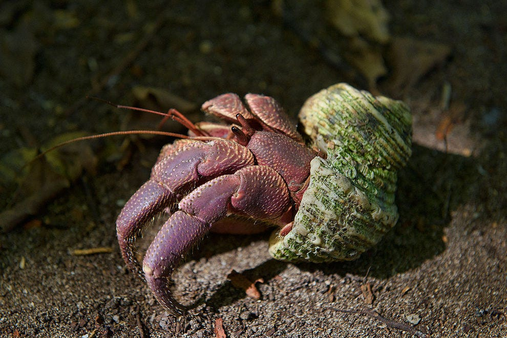 Hermit crabs feature prominently amongst the marine life
