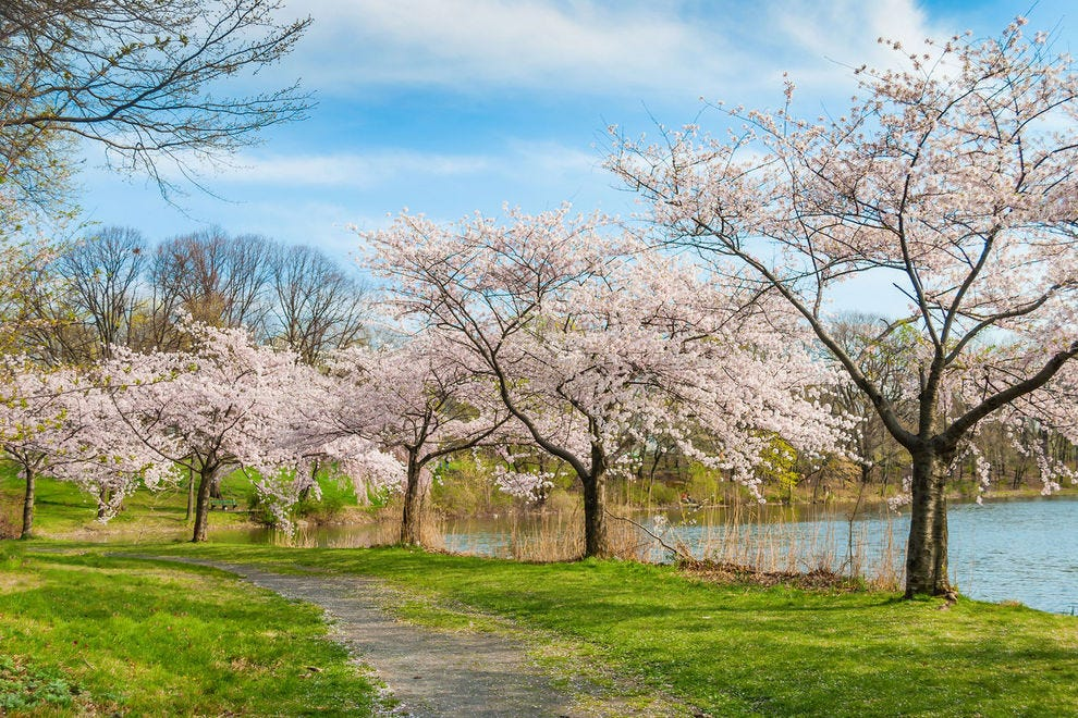Cherry blossom trees blanket Branch Brook Park in springtime