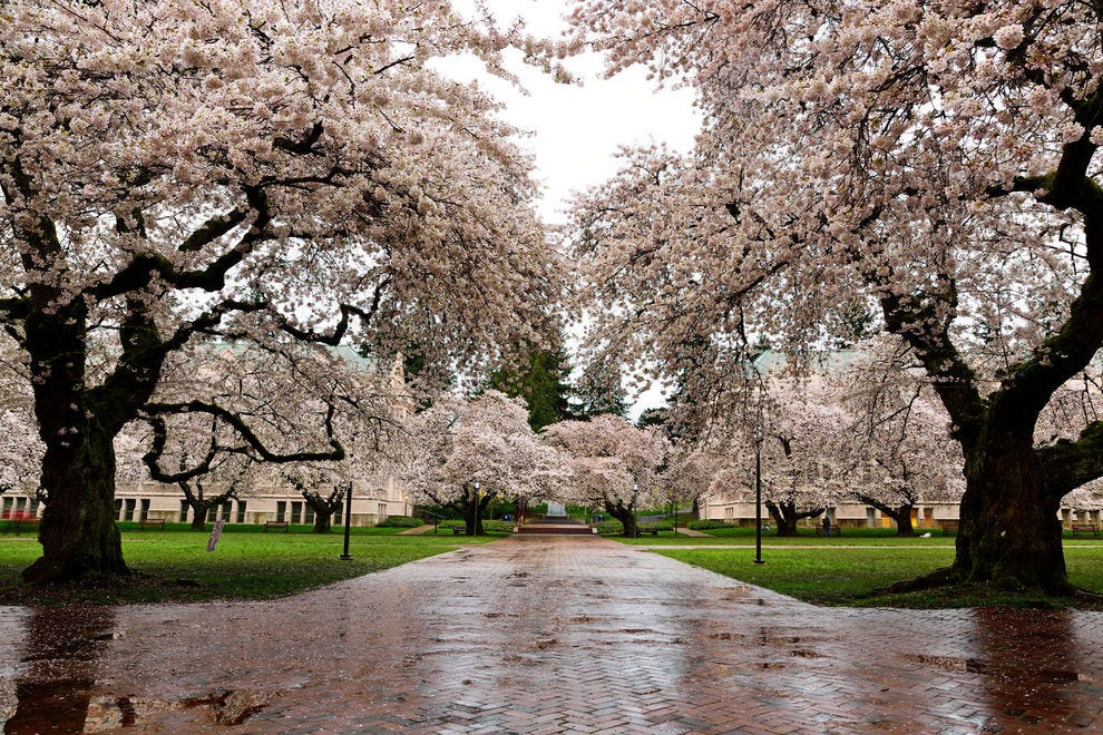 Cherry blossoms brighten a damp day in Seattle
