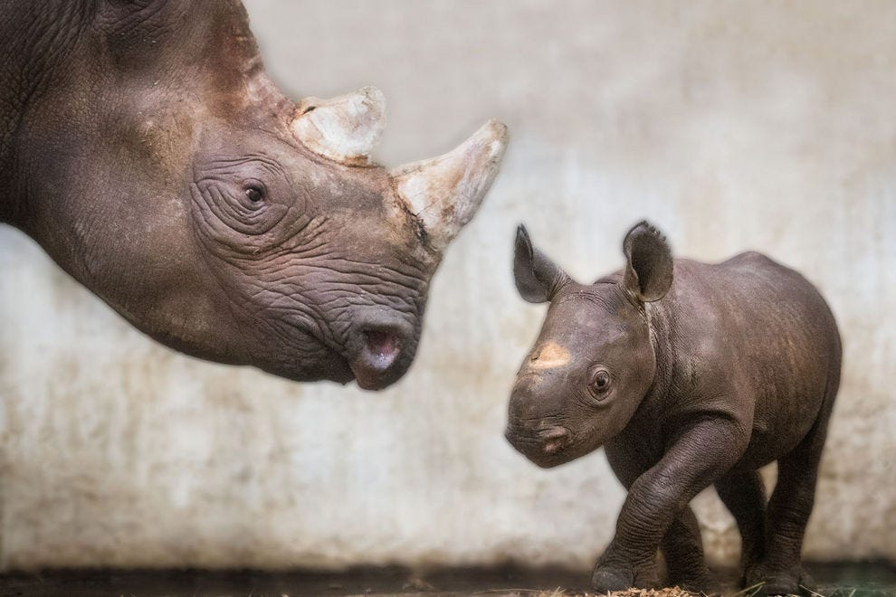 Lulu the Eastern black rhino was born at Cleveland Metroparks Zoo in February