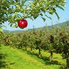 Best Apple Orchard