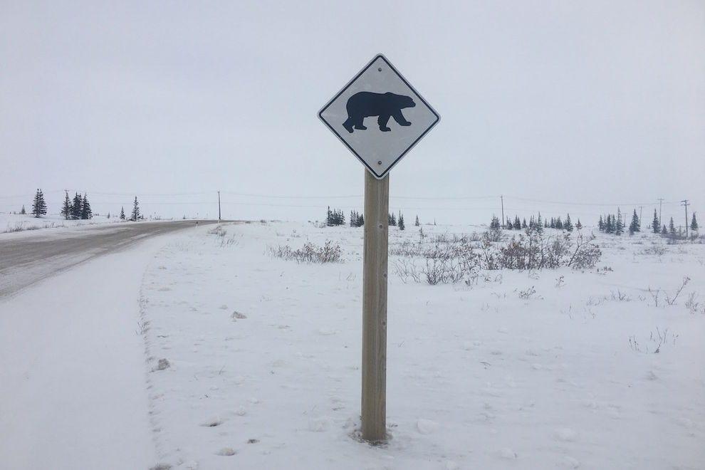 Every street in Churchill is a polar bear crossing