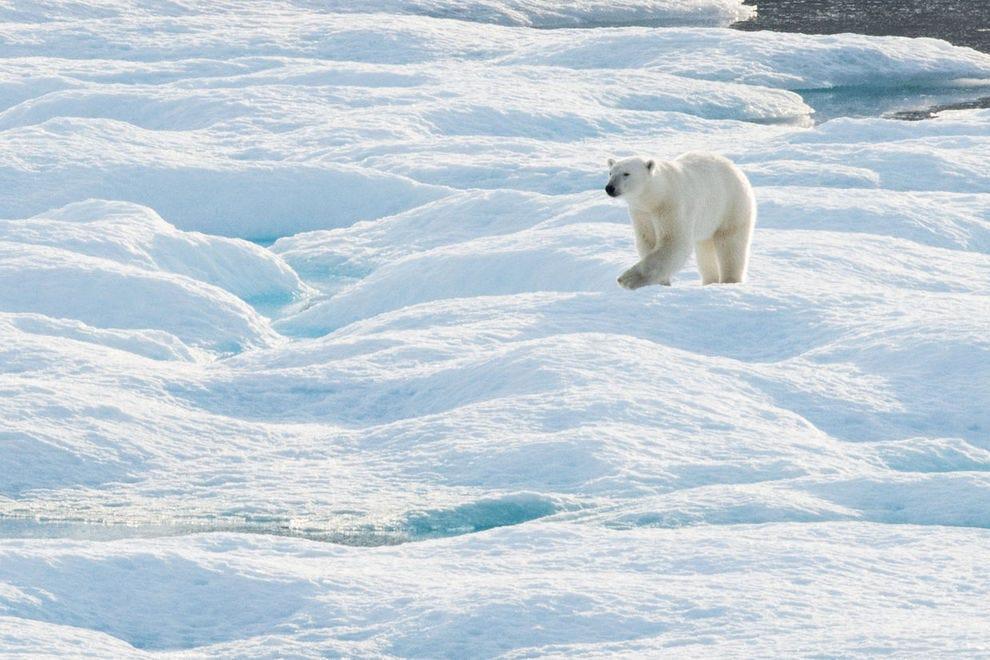 A polar bear walks across some sea ice in Croker Bay