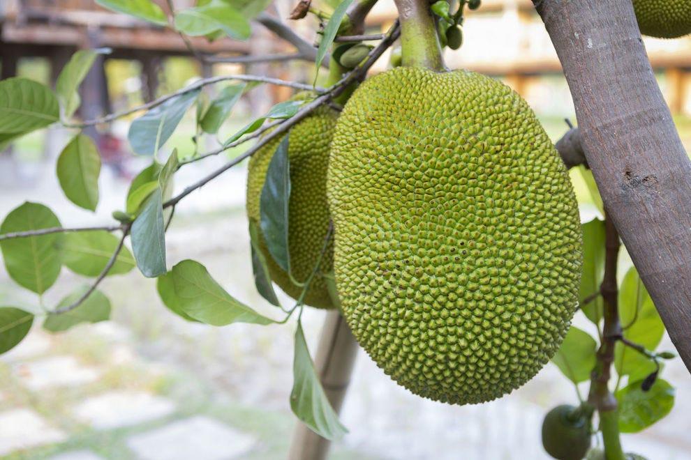 Jackfruit on a tree
