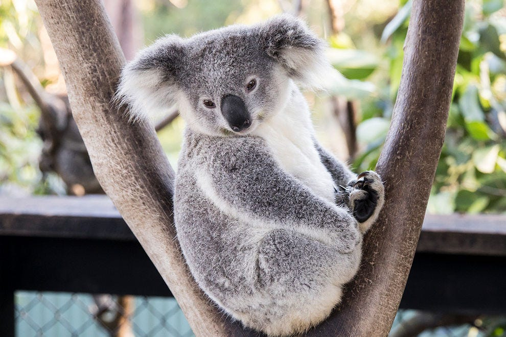 A resident koala hangs out in a tree at the Australian Reptile Park on the Central Coast