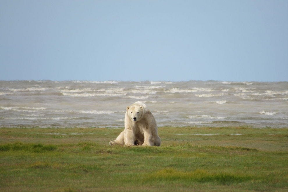 Polar Bear at Hudson Bay