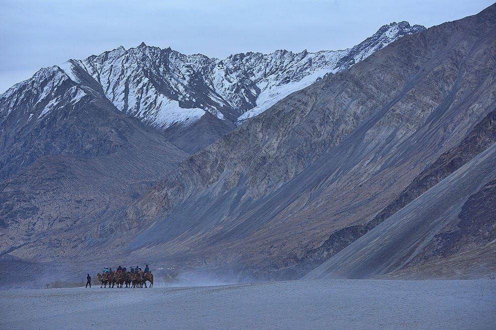 Camels in the Karakoram Mountains, Hundar, Nubra Valley, Ladakh, India