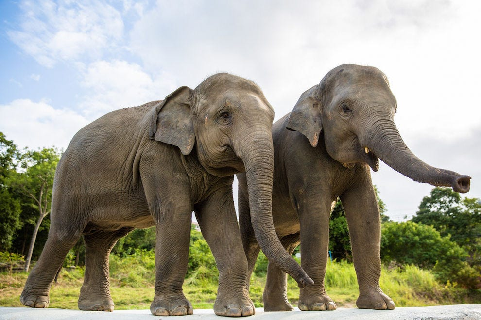 Elephants hang out together at Samui Elephant Haven