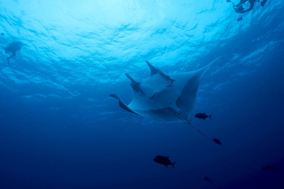 Giant oceanic manta ray off the island of Socorro