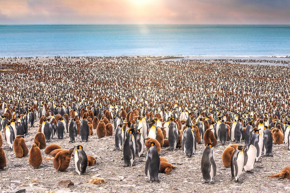 Giant colony of king penguins on St. Andrews Bay