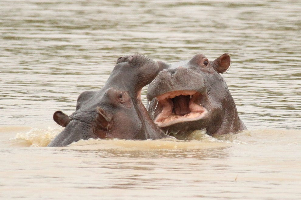 Close encounters with hippos