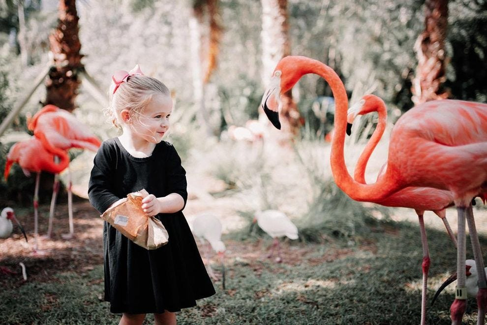 Guests at Sarasota Jungle Gardens can hand feed the flamingos.