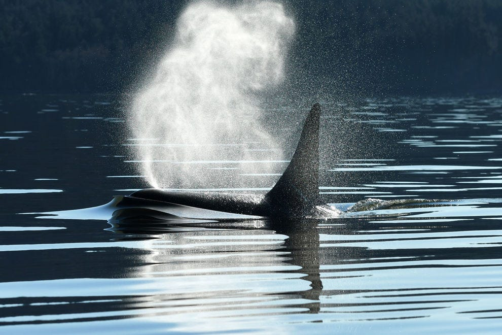Clipper Vacations takes passengers to San Juan Island and Victoria on once-in-a-lifetime whale-watching adventures