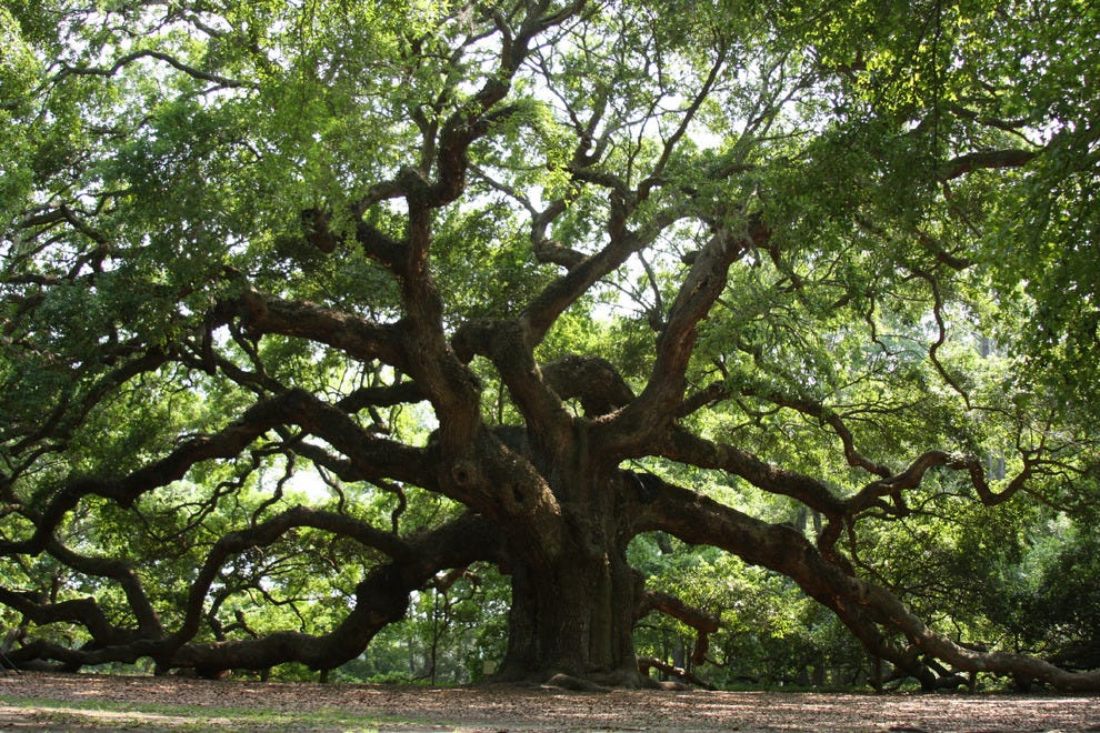 oak tree with wide, spreading branches