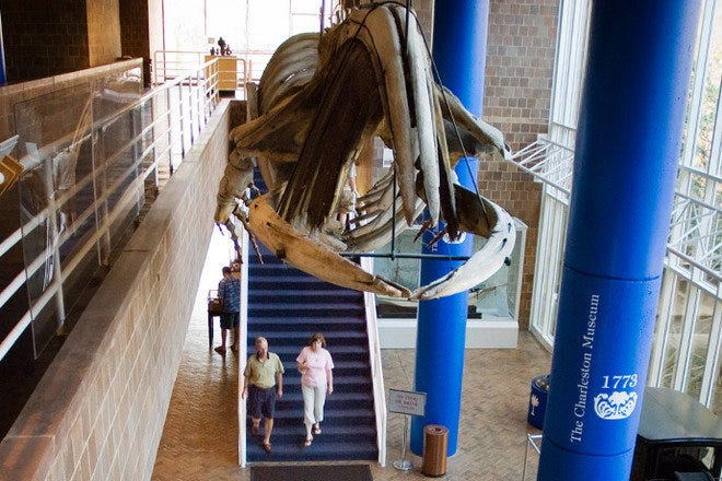 This massive whale skeleton is among of the most memorable features of the Charleston Museum.