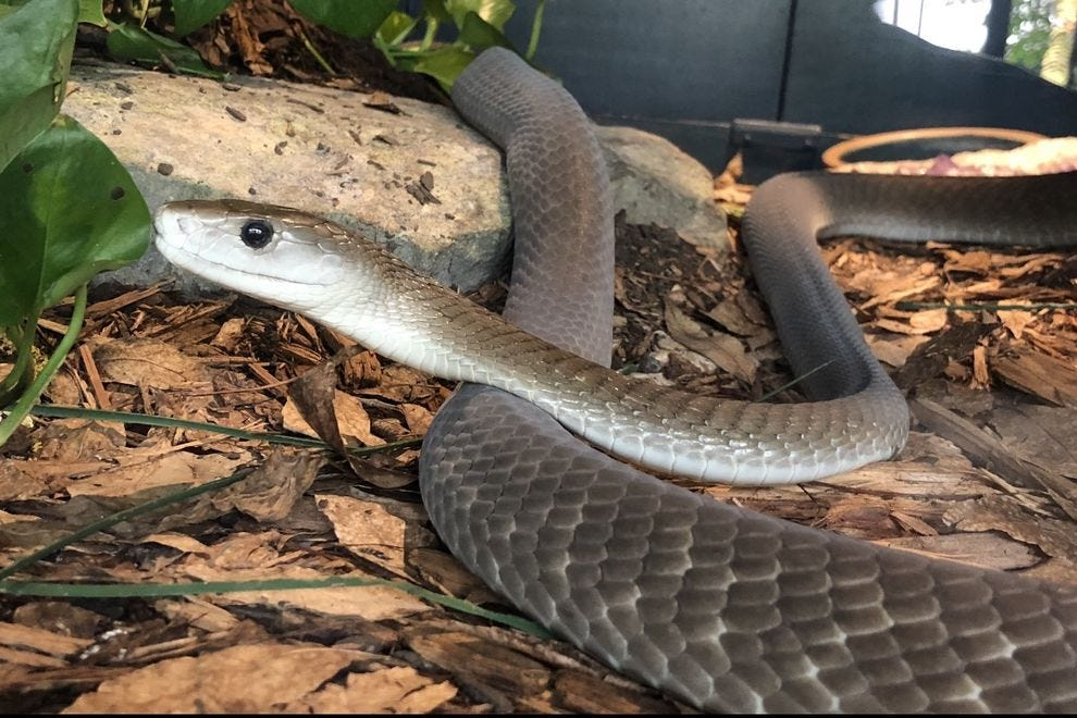 Don't let the smile fool you – the black mamba is one of Africa's most aggressive snakes