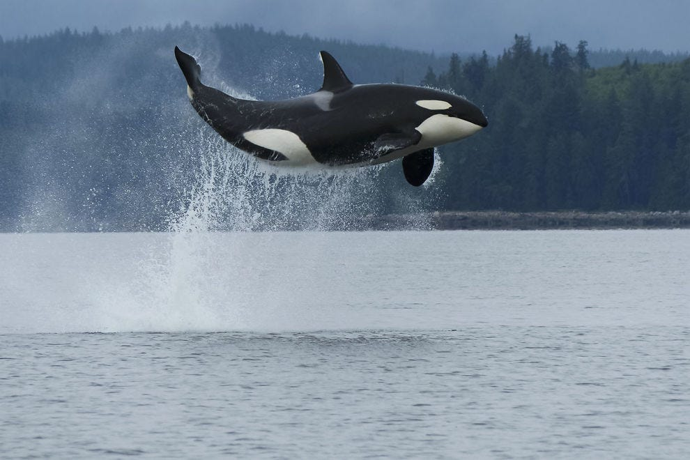 Along Vancouver Island, resident whales are split into two communities: Northern and Southern residents