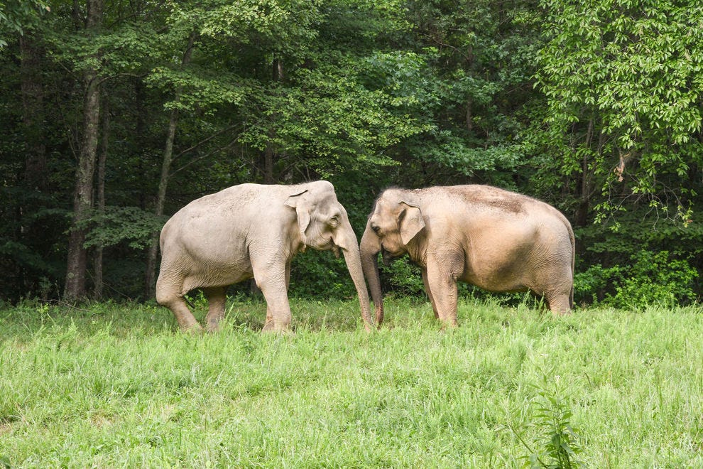 Asian elephants, Shirley and Tarra at  Elephant Sanctuary in Tennessee