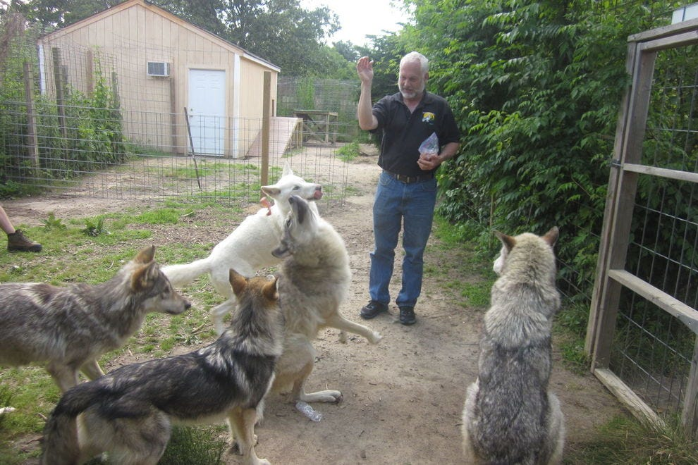 Michael Hodanish with rescued wolfdogs
