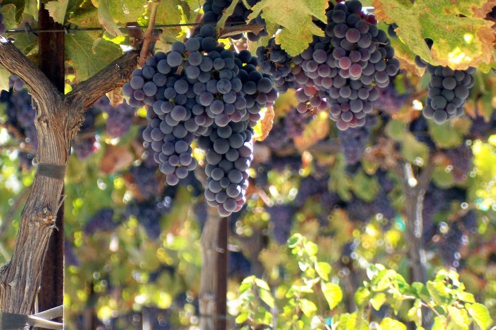 Brilliant, ripe counoise grapes ready for harvest at Tablas Creek in Paso Robles