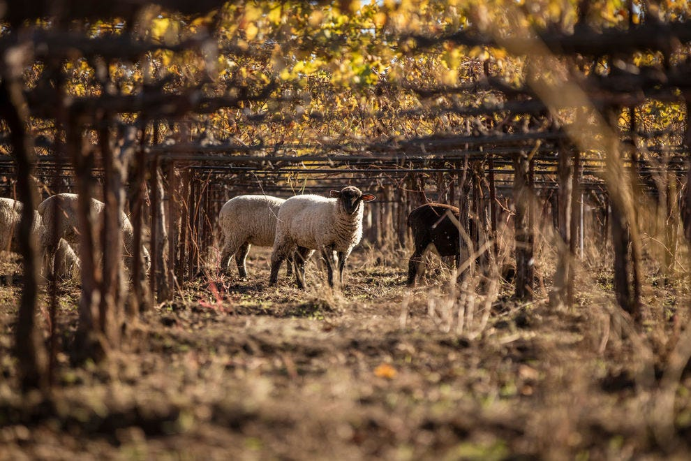 Sheep graze the organic vineyards of Bonterra, offering natural fertilizer