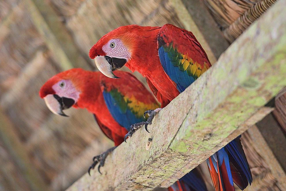 Closeup with curious macaws