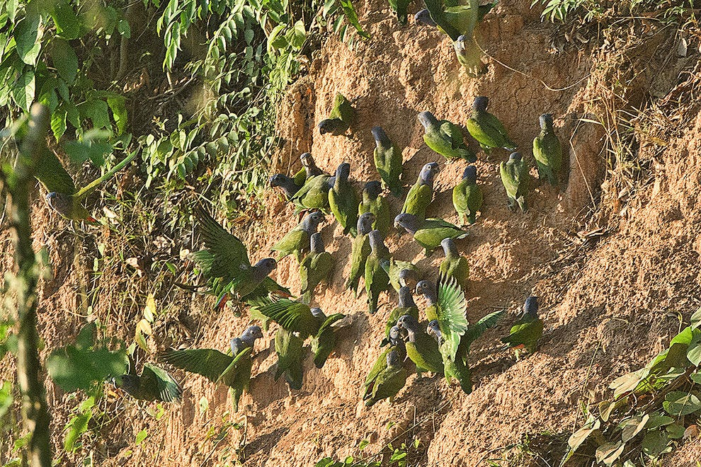 A gathering of parrots