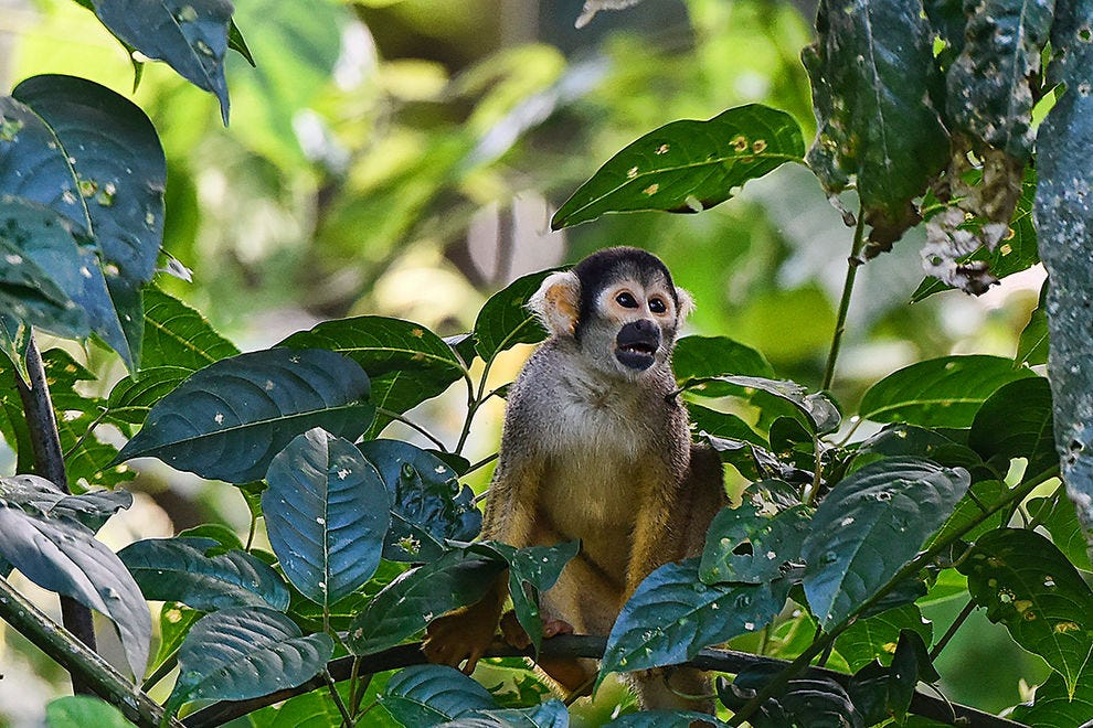 Bolivian squirrel monkey up close
