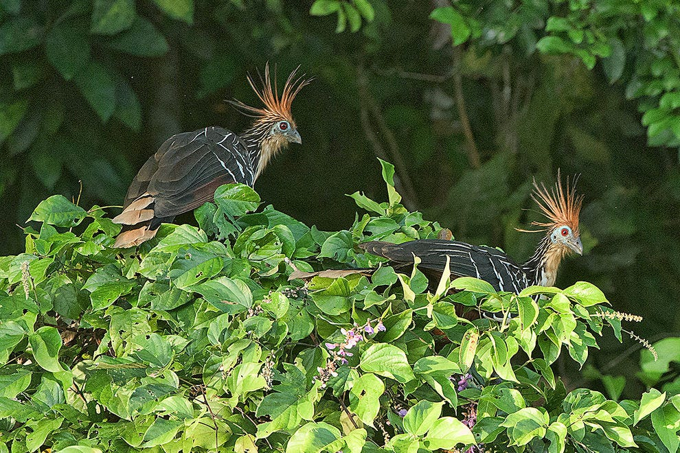 "Hoatzin or ""stinkbird,"" only seen in the Amazon"