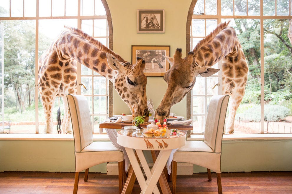 Not an uncommon scene at Giraffe Manor...
