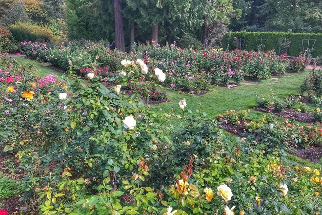 International Rose Test Gardens Portland Attractions Review