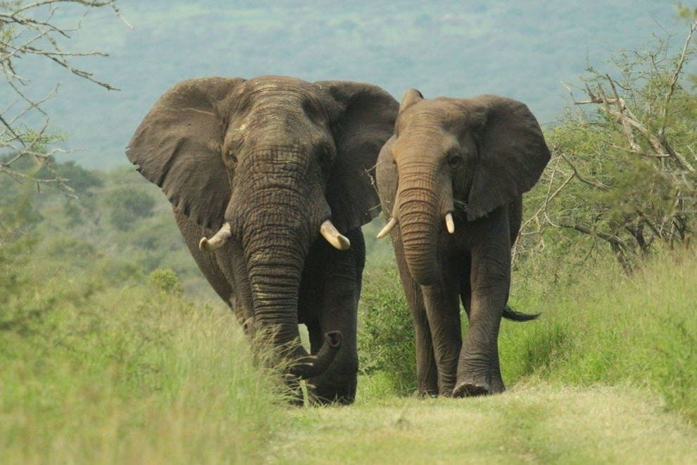 Elephant tracking is harder than you think; these large creatures can easily disappear amongst the trees!
