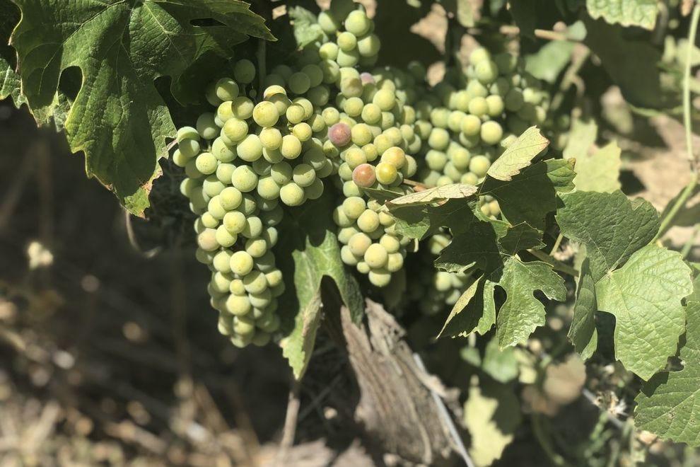 Uvas no Vale do Doro
