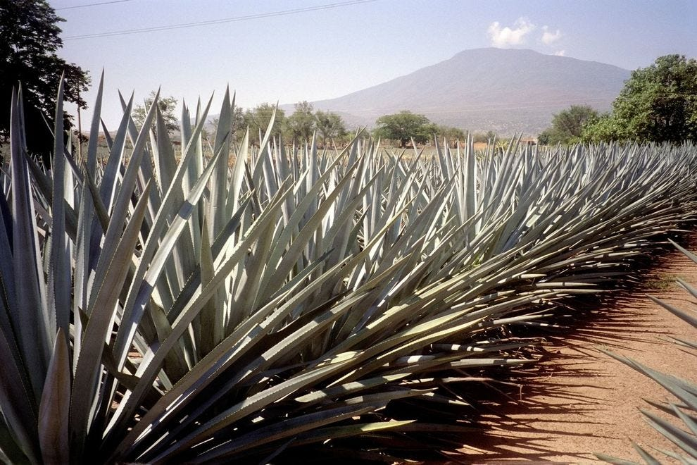 Agave plants outside the town of Tequila in Mexico