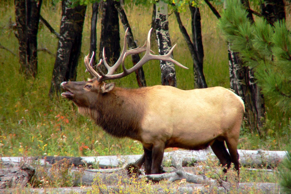 Rocky Mountain National Park is home to many elk