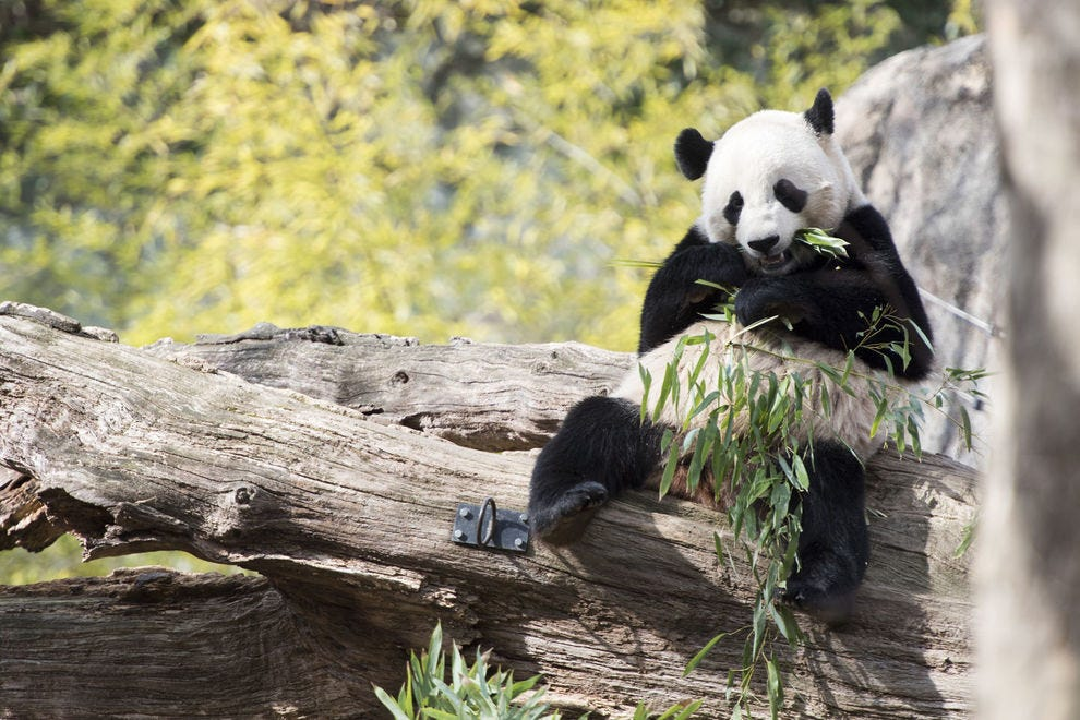 The Panda Cam tracks two giant pandas at the National Zoo