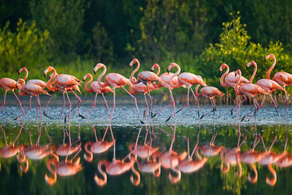 Flamingos on parade