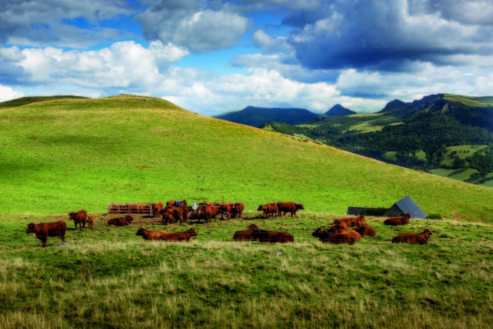 Salers cattle in a pasture