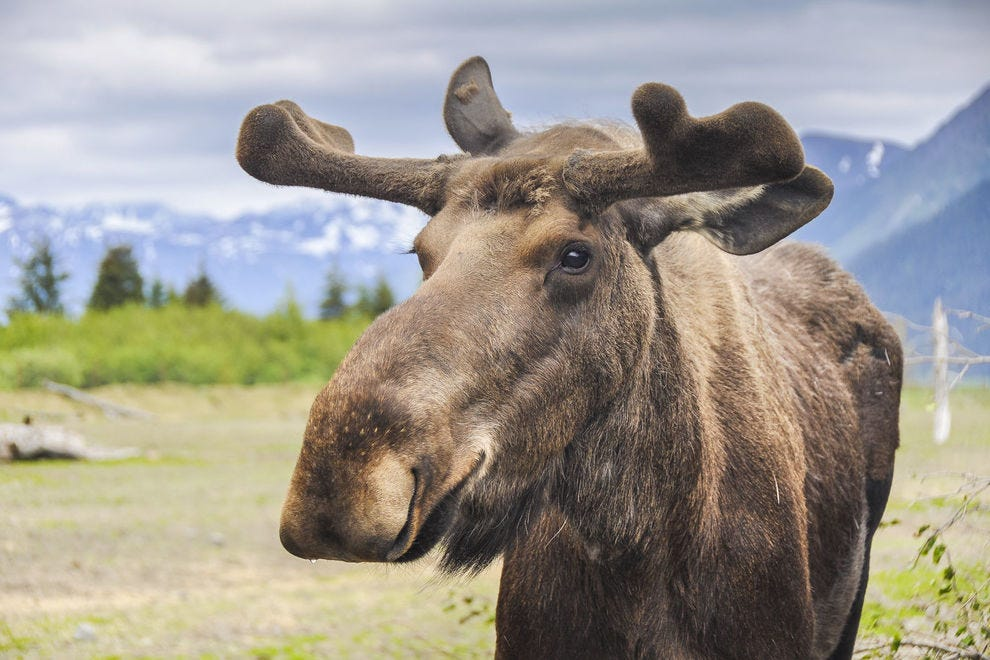 The Alaska moose is the largest in North America