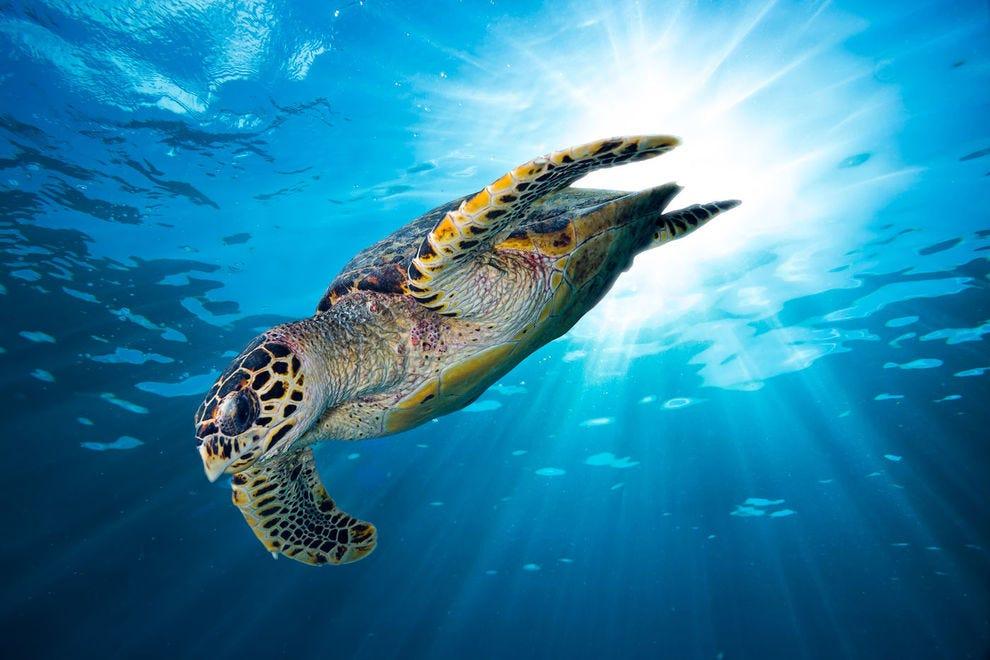 A hawksbill sea turtle goes for a swim