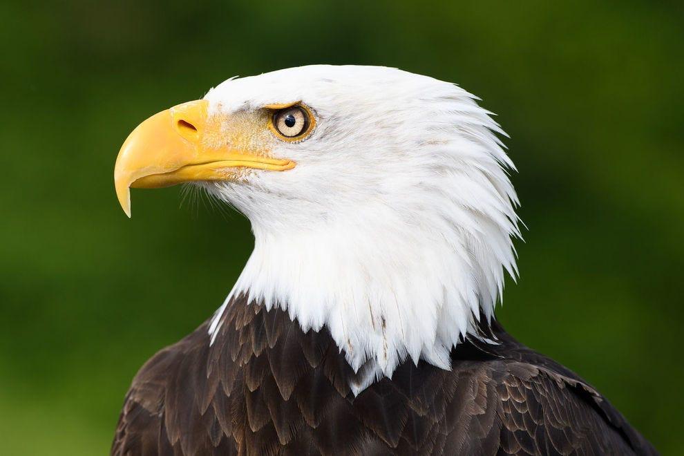 A striking profile of a bald eagle