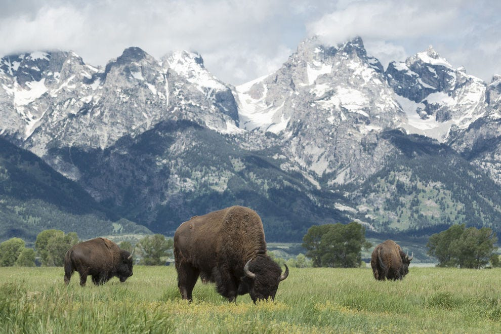A herd of bison grazing in Grand Teton National Park