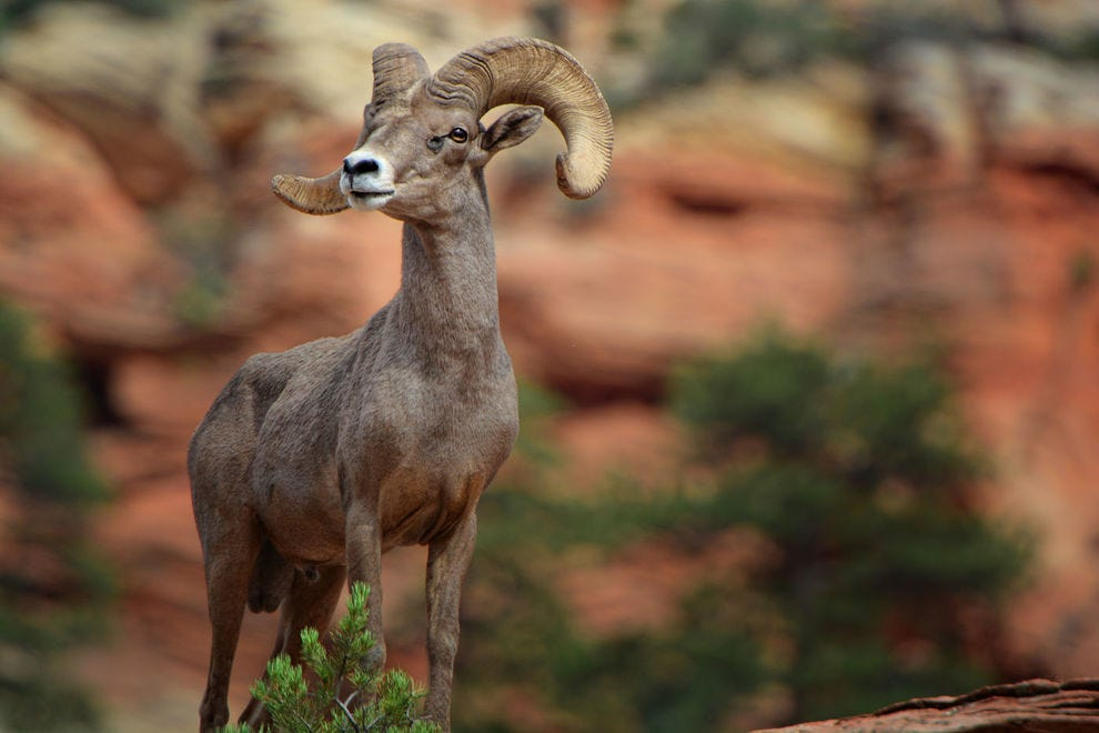 A bighorn ram on a cliff at Zion National Park