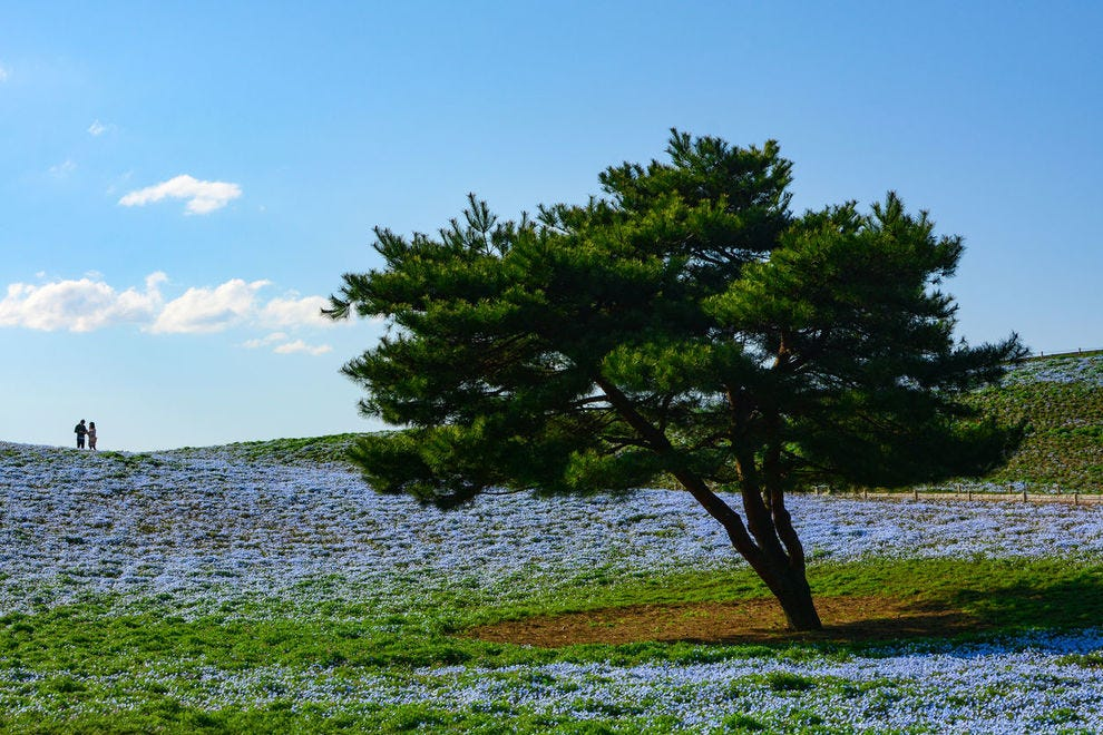 One of many flower displays at Hitachi Seaside Park