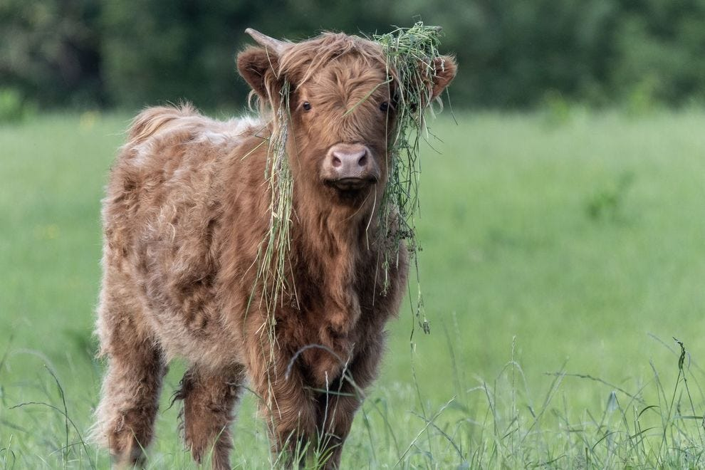 Highland cow with grass over its ears