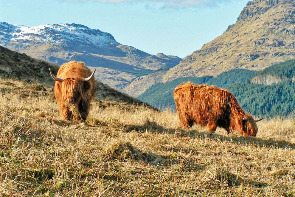 Highland cattle in the Argyll mountains