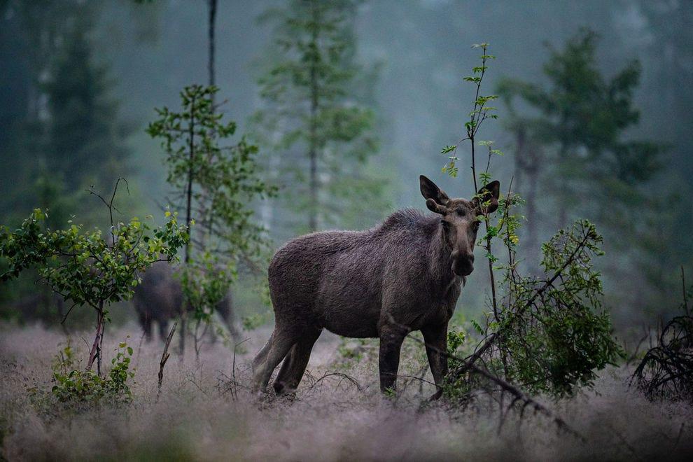 Moose in Swedish forset