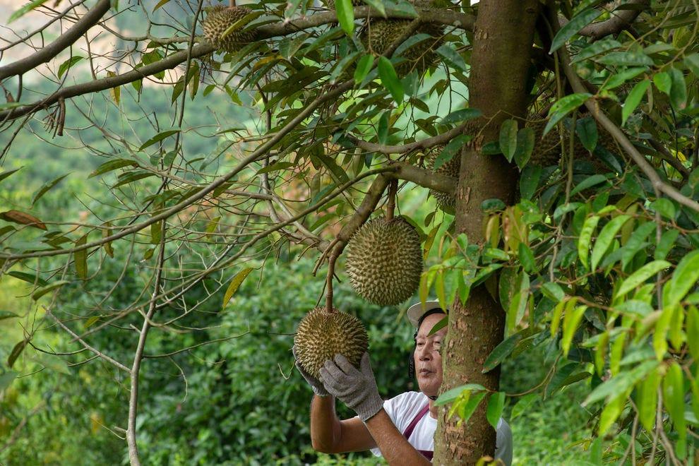 A farmer inspects durian on a tree